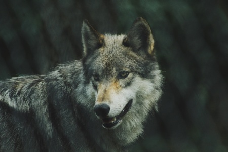 オオカミ顔と相性の良い相手は?