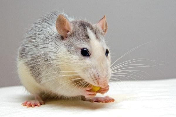 陽気な「ネズミ顔」の悩みとは-どうぶつ顔で診断-