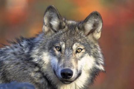 性欲強めな「オオカミ顔」-どうぶつ顔で診断-